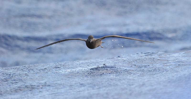 Madeira Pelagic Bulwer's Petrel by Kjetil Schjølberg