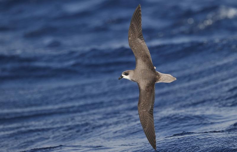 Madeira Pelagics Fea's Petrel by Kjetil Schjølberg