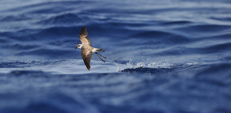 Madeira Pelagics White-faced Storm Petrel by Kjetil Schjølberg